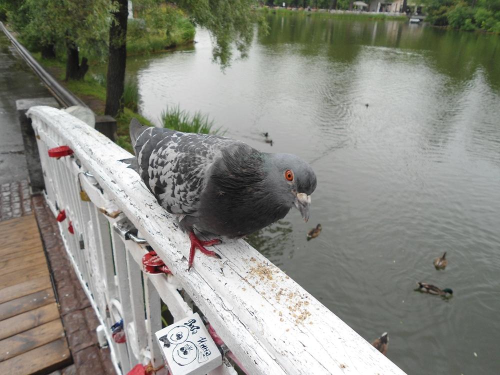 Наглый голубь в парке Горького