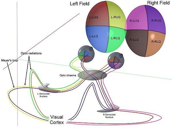оптические пути каждого из 4 квадрантов полей зрения для обоих глаз в условиях бинокулярного зрения